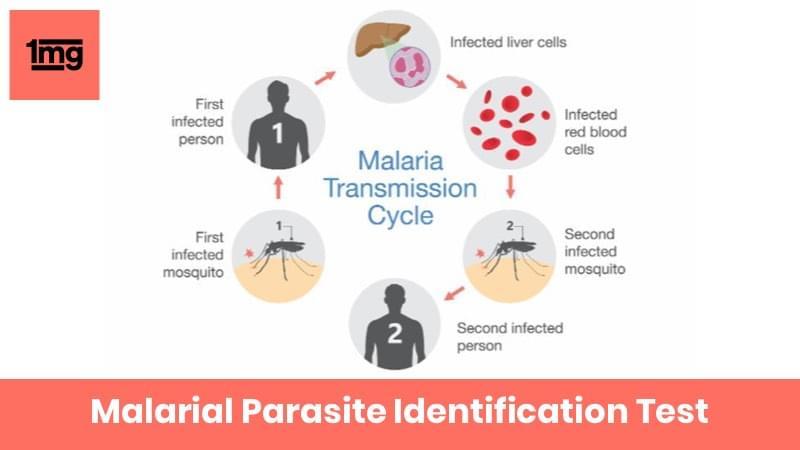 Malarial Parasite Identification